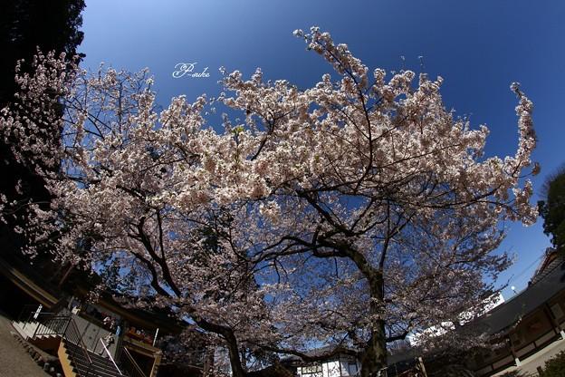 Photos: 魚眼で桜