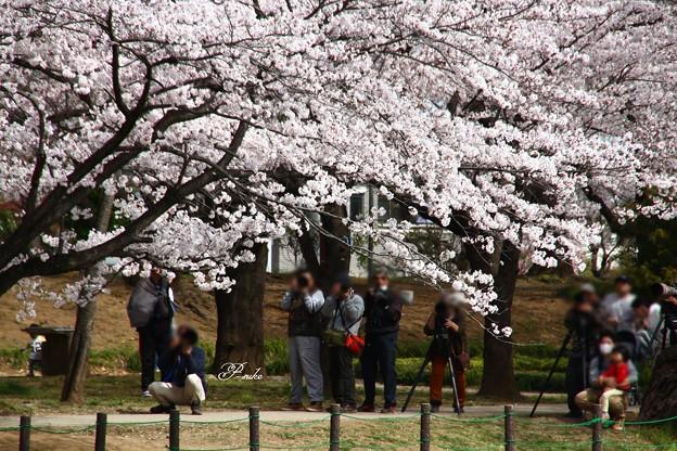 桜カワセミ