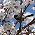 Photos: 桜シジュカ