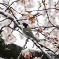 Photos: 雪と桜とシジュウカラ