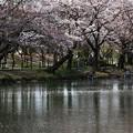 Photos: 桜舞う