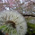 桜とタンポポ