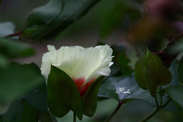 Photos: 綿の花