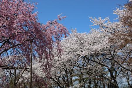 彦根城桜5Ds9