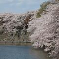 彦根城桜5Ds11