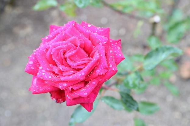 写真: バラと・・・