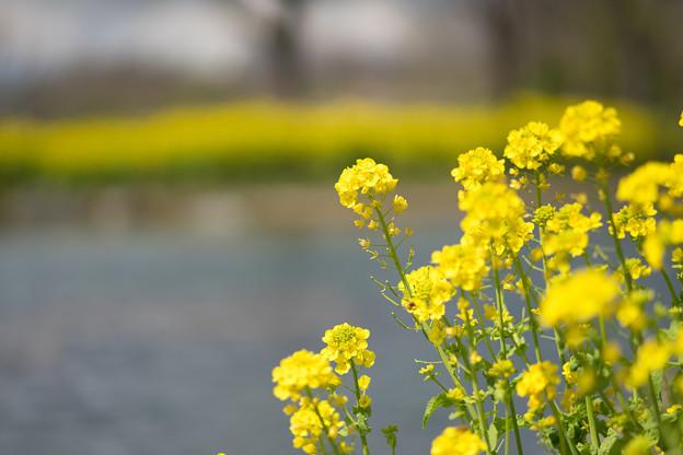 菜の花の季節!!