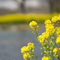 Photos: 菜の花の季節!!