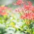 Photos: 輝かしい彼岸花