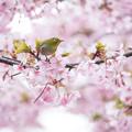 桜に囲まれて!