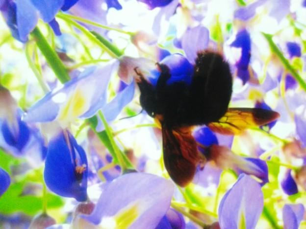 クマンバチ先輩と藤の花