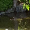 城北公園のカルガモ