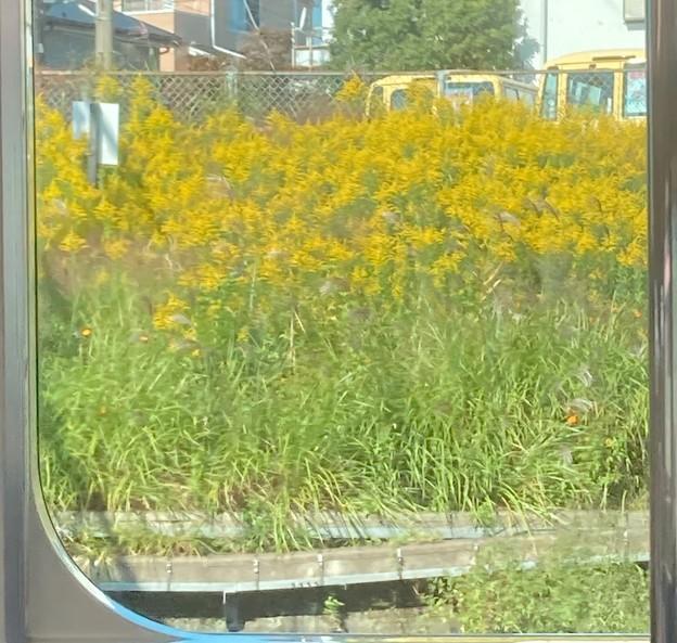 車窓からのセイタカアワダチソウ