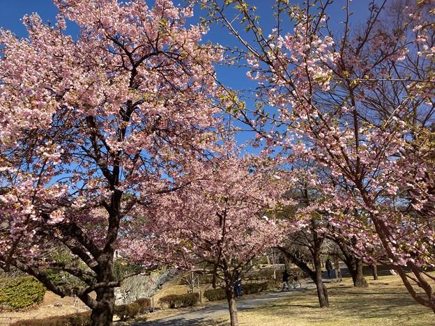 伊東小室桜