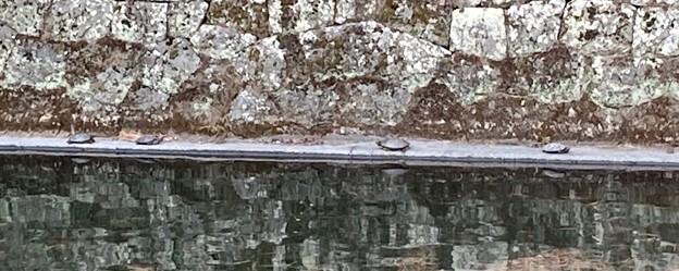 駿府城外堀の亀