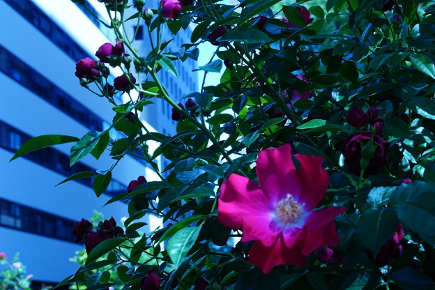 写真: 谷間の赤い薔薇