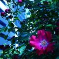 谷間の赤い薔薇