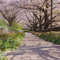 Photos: 桜色の小路2019