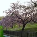 写真: 満開だった、朝宮公園の八田川沿いの…山桜?(2017年4月21日) - 1
