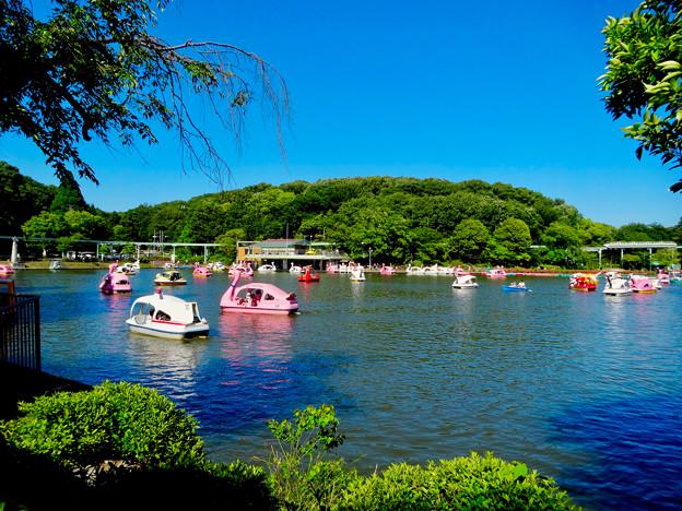 東山動植物園:沢山のスワンボート - 1