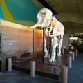 Photos: 東山動植物園 動物開館:アフリカ象の骨格標本 - 1
