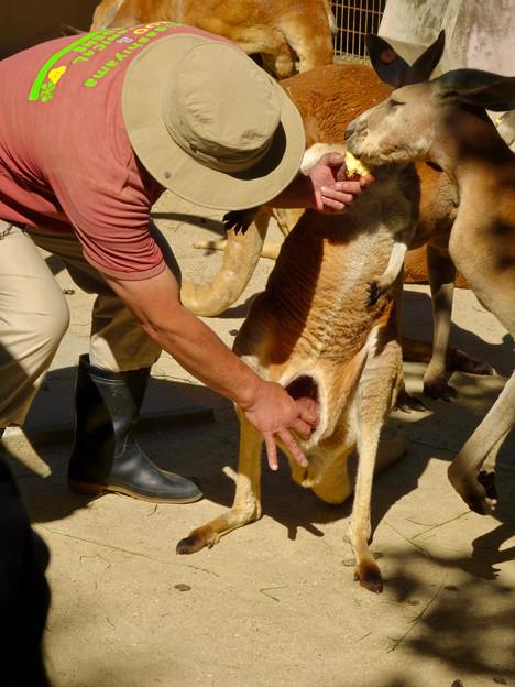 東山動植物園:アカカンガルーの袋の中 - 11