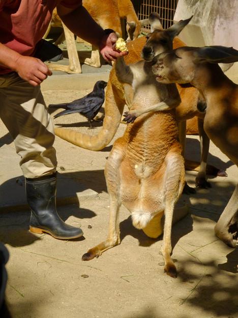東山動植物園:アカカンガルーの袋の中 - 12