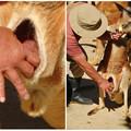 写真: 東山動植物園:アカカンガルーの袋の中 - 14