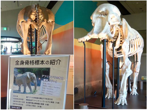 東山動植物園 動物開館:アフリカ象の骨格標本 - 9