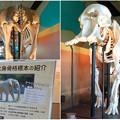 Photos: 東山動植物園 動物開館:アフリカ象の骨格標本 - 9