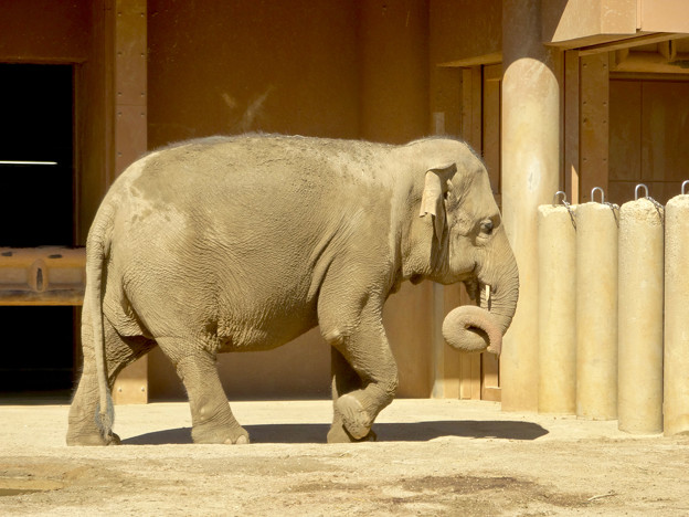東山動植物園:子供のアジアゾウ - 1