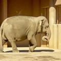 写真: 東山動植物園:子供のアジアゾウ - 1