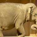 写真: 東山動植物園:子供のアジアゾウ - 2
