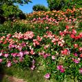 東山動植物園:満開だったバラ園のバラ - 3