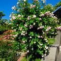 東山動植物園:満開だったバラ園のバラ - 5