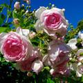 東山動植物園:満開だったバラ園のバラ - 6