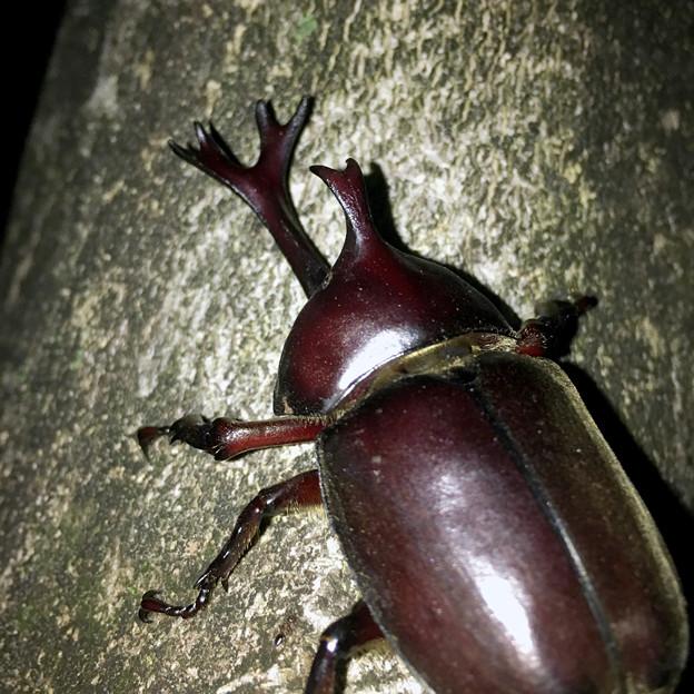 深夜出会った立派なカブトムシ - 9