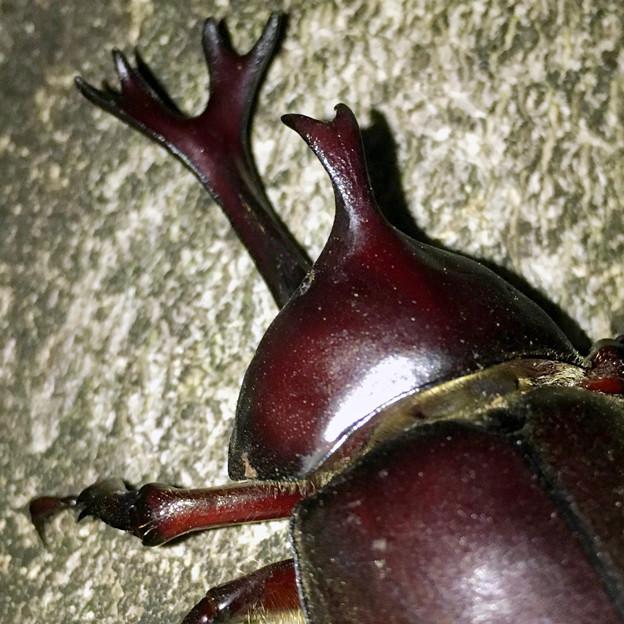 深夜出会った立派なカブトムシ - 10