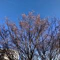写真: 花が咲いていた大山川沿いの木(2018年3月2日) - 1