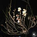 写真: 近所の白梅が咲き始め(2018年3月3日)