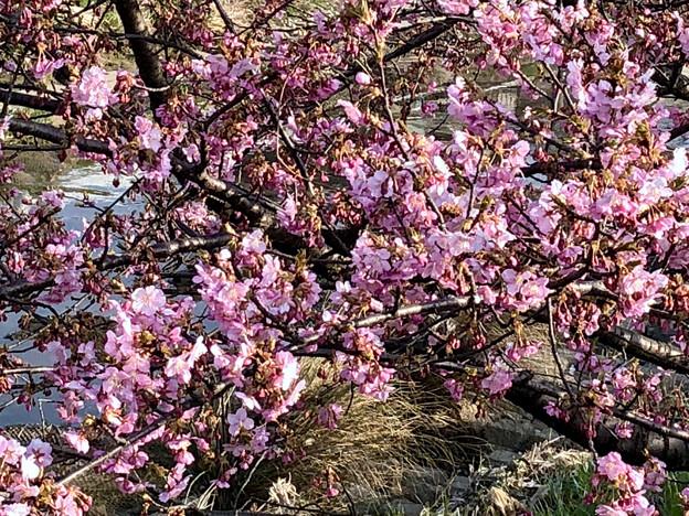 満開だった、八田川沿いの早咲きの桜(オオカンザクラ?、2018年3月13日) - 2