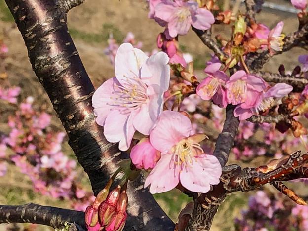 満開だった、八田川沿いの早咲きの桜(オオカンザクラ?、2018年3月13日) - 3