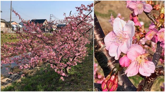 満開だった、八田川沿いの早咲きの桜(オオカンザクラ?、2018年3月13日) - 6