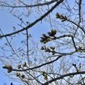 落合公園の桜のツボミ(2018年3月17日)No - 1