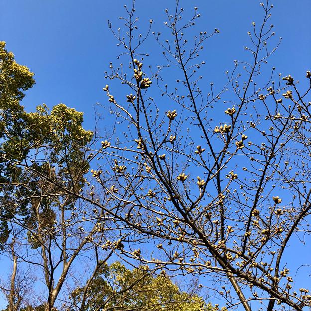 落合公園の桜のツボミ(2018年3月17日)No - 3
