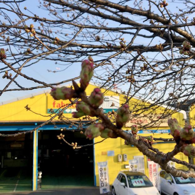 落合公園の桜のツボミ(2018年3月17日)No - 7:極一部の木ではピンク色が見え始めたものも!