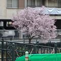 すでに満開&葉桜だった納屋橋近くの堀川沿いの桜(四季桜、2018年3月18日) - 1