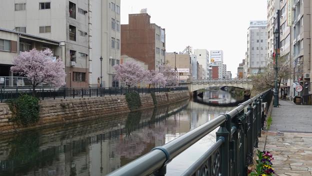 すでに満開&葉桜だった納屋橋近くの堀川沿いの桜(四季桜、2018年3月18日) - 2