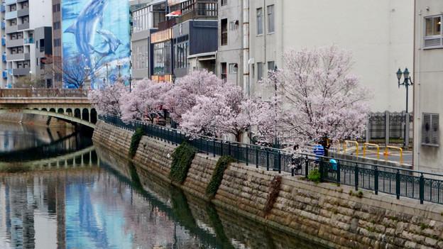 すでに満開&葉桜だった納屋橋近くの堀川沿いの桜(四季桜、2018年3月18日) - 12
