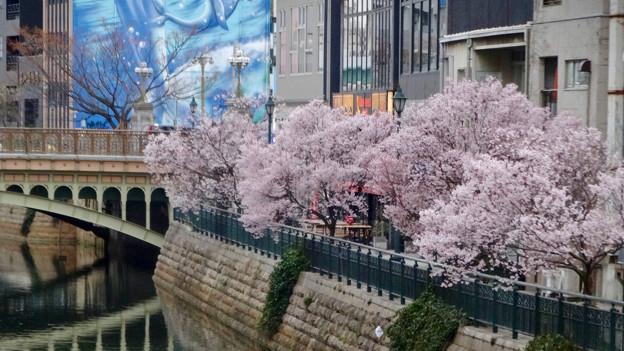 すでに満開&葉桜だった納屋橋近くの堀川沿いの桜(四季桜、2018年3月18日) - 13